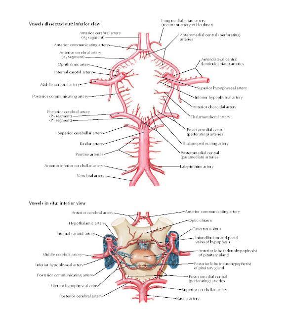 Cerebral Arterial Circle (of Willis) Anatomy