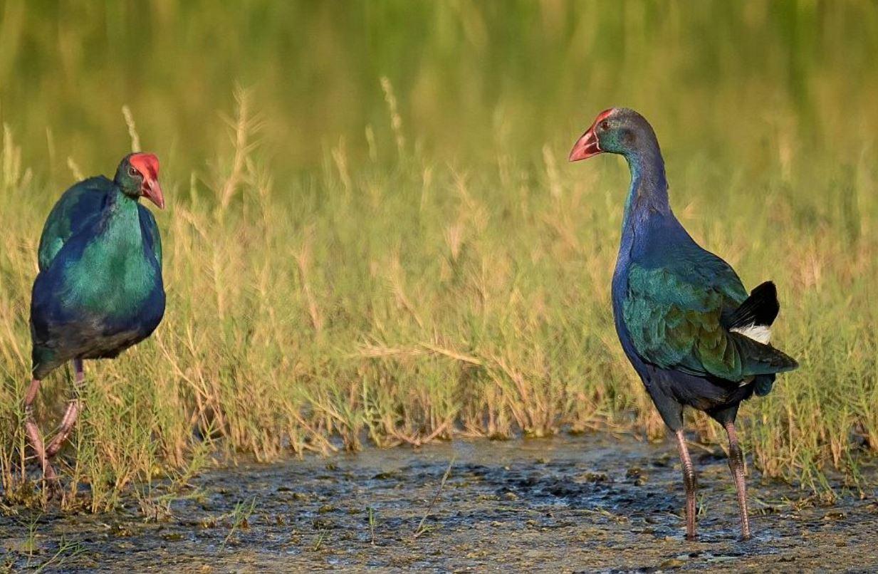 بحيرة الأصفر بالأحساء.. محمية طبيعية تأوي الطيور المهاجرة إليها