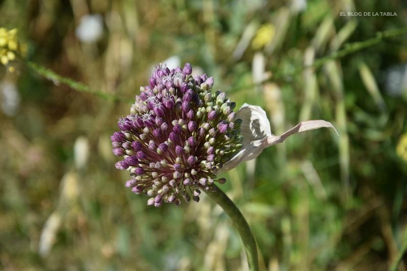 Allium ampeloprasum (puerro silvestre)