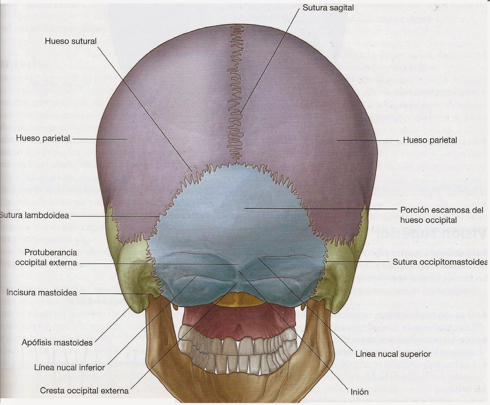 ANATOMÍA: Tejido óseo. EL CRÁNEO. TC, TAC, Rx, RADIOGRAFÍA.