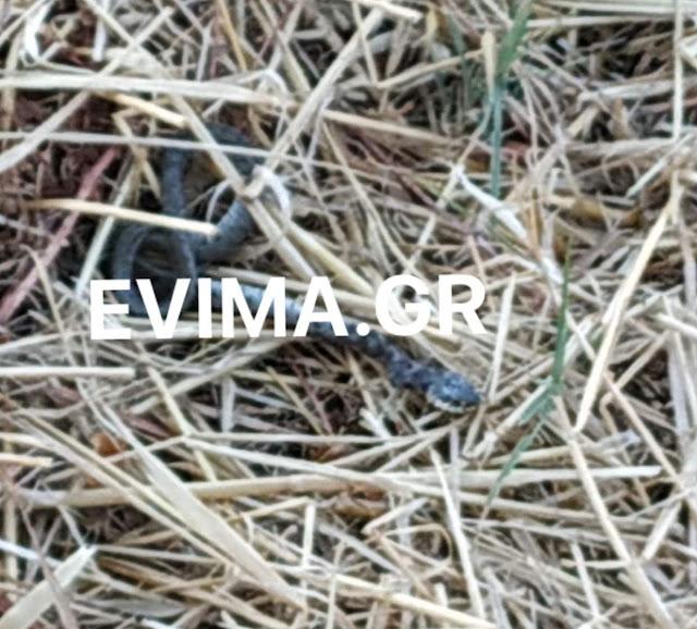 φίδι Εύβοια