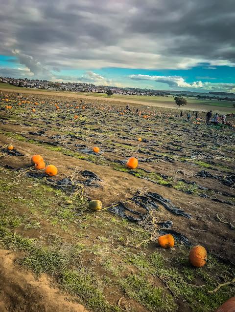 Pumpkin picking at Farmer Copleys - pumpkins in the fields