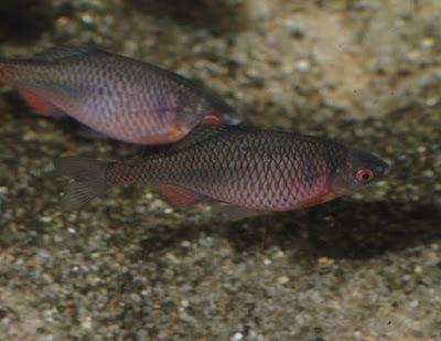 Bitterling Fish Facts, Size, Weight, Care, Diet, Aquarium