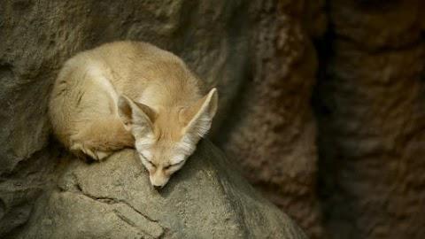 Olyan édes sivatagi róka érkezett Nyíregyházára, hogy azonnal állatkertbe akar majd menni miatta