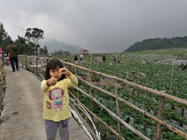 Kebun strawberry di tawangmangu