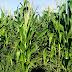 Consórcio milho e capim-massai garante silagem com menor custo para produtores de ovinos no Semiárido