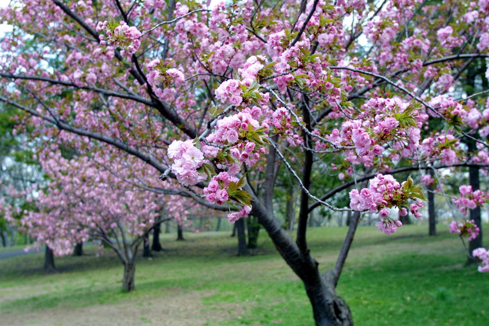 Hallo: Natural Cherry Blossom Pictures