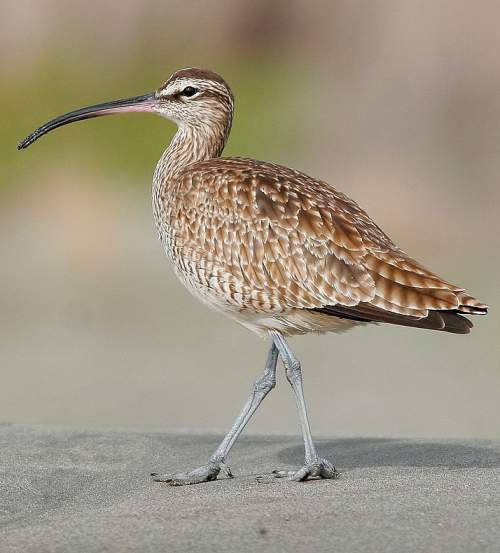 Indian birds - Picture of Whimbrel - Numenius phaeopus
