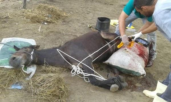 Um morador do município de Nova Fátima realizou uma ação em conjunto com amigos veterinários para  fazer socorro a um animal que foi atropelado.