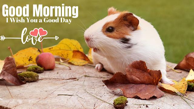 white rat beautiful images good morning