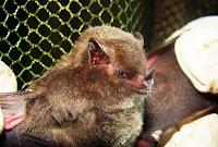 Já acreditou-se, por exemplo, que morcegos seriam ratos que, quando bem velhos, ganhavam asas, transformando-se nesse ser alado, que deixava os esgotos para habitar outros cantos escuros para atacar as pessoas.  No entanto, todos os morcegos são gerados da mesma forma que todos mamíferos o são; no ventre de suas mães. Portanto, todos nascem, crescem e morrem sendo morcegos.