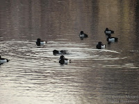 A group of male tufted ducks on the Shinobazu pond at Ueno Park, Tokyo. The tuft that gives them their name is visible on the back of their heads. They look like little toy ducks.© Denise Motard