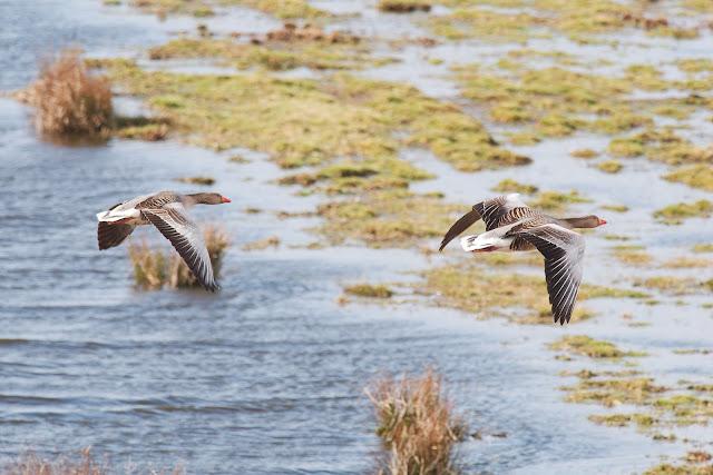 Graugans - Anser anser - Greylag Goose