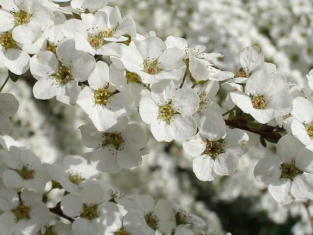 How To Grow Spiraea Arguta Bridal Wreath The Garden Of Eaden