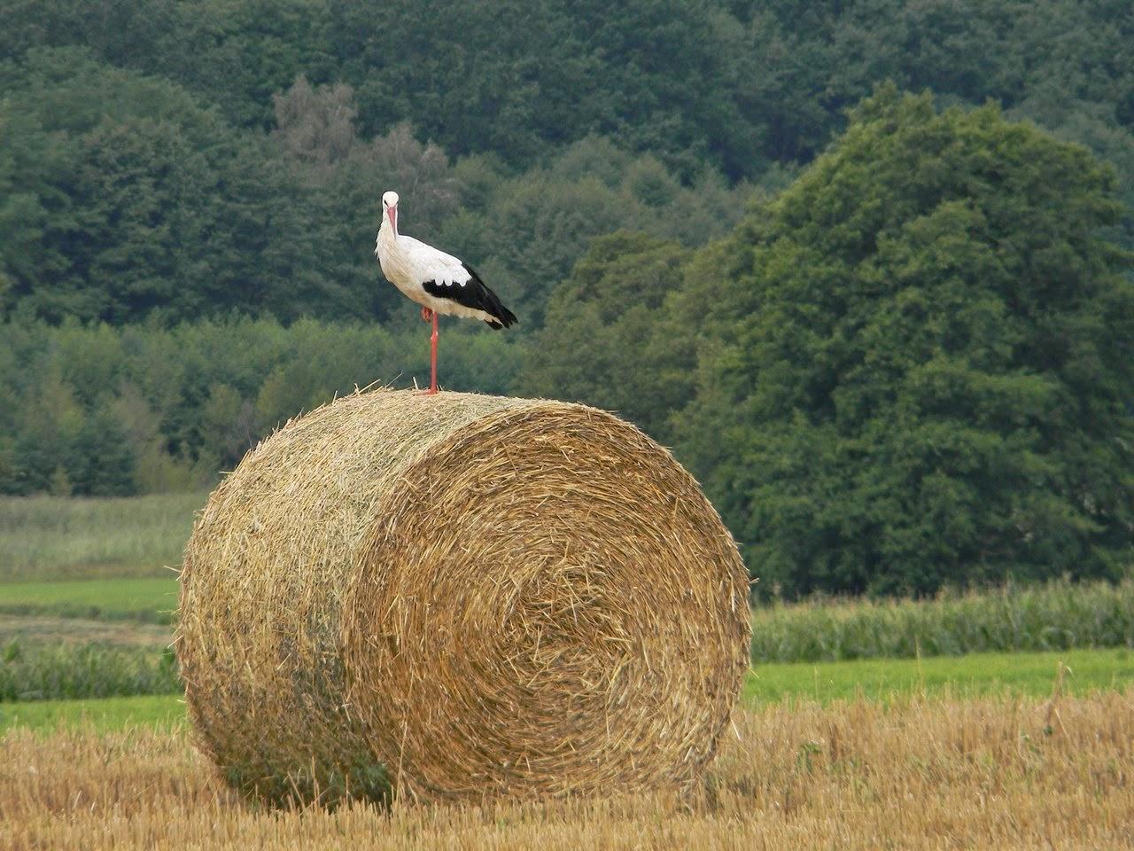 ptaki, bocian biały, przyroda, pola