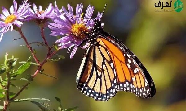 اين تعيش الفراشات