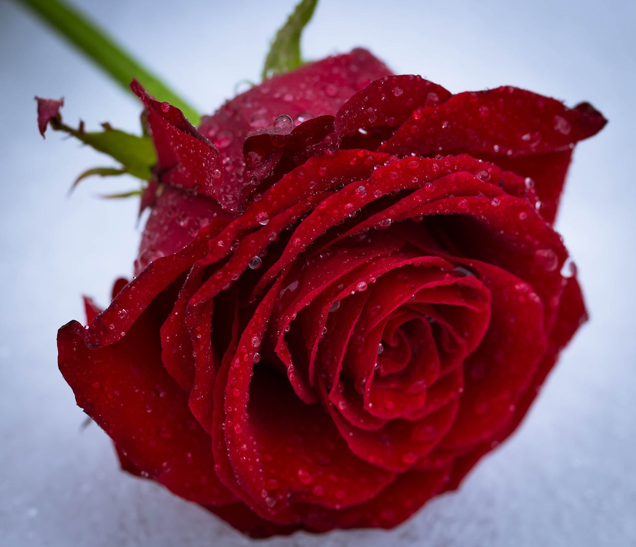 337 Rose Flower Images And Photos Flower Dp