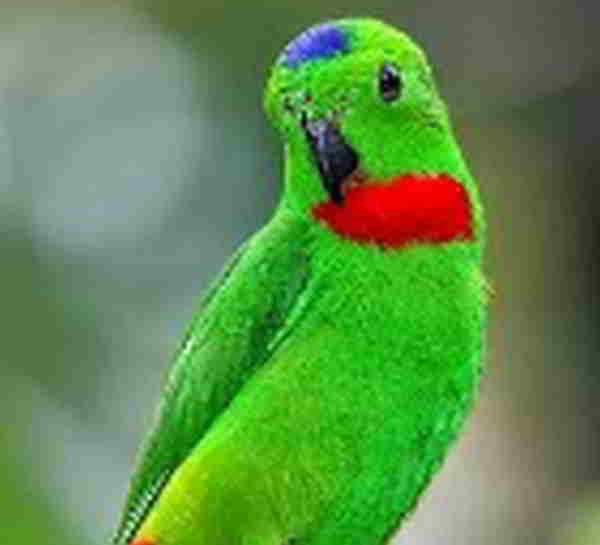 Suara Kicau Burung Srindit Melayu