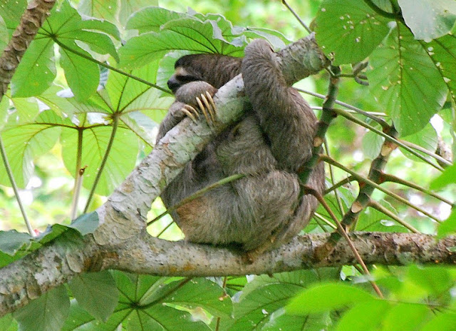 Three-toed Sloth - Facts, information and pictures 1
