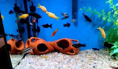Kebersihan Akuarium Ikan Molly
