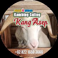 Kambing Guling, kambing guling di lembang, kambing guling lembang, spesialis guling kambing di lembang bandung, kambing guling di bandung, spesialis kambing guling di lembang, spesialis kambing,
