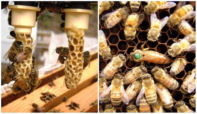Ανοιξιάτικες vs Φθινοπωρινές Βασίλισσες: Μέγιστη ανάπτυξη, και τρύγος πρώιμων ανοιξιάτικων μελιών!