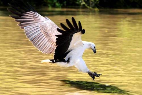 Indian birds - Image of White-bellied sea eagle - Haliaeetus leucogaster