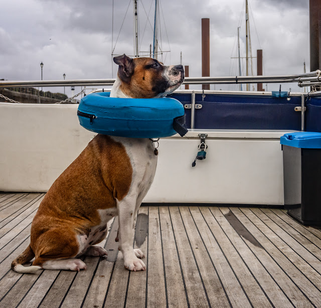 Photo of Ruby in her inflatable collar on Ravensdale's aft deck