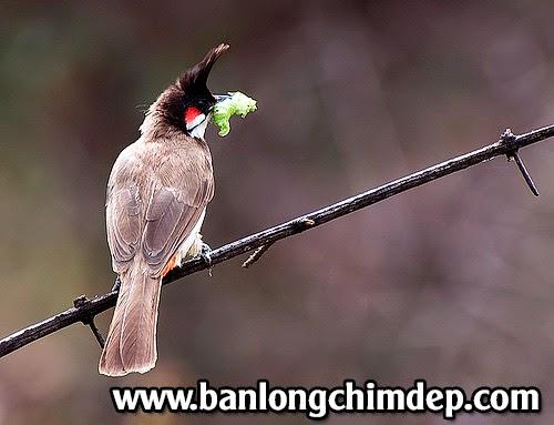 thức ăn cho chim chào mào