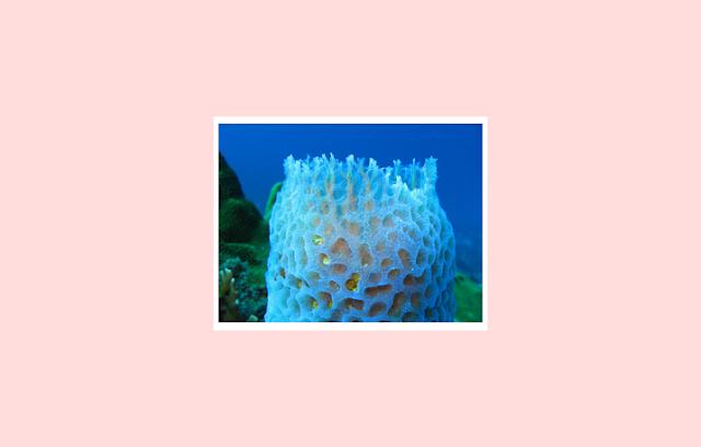 Porifera sebagai Invertebrata