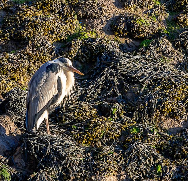 Photo of a heron on the rocks by the marina slipway