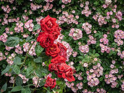 Rose garden: Ofuna Botanical Garden (Kamakura)