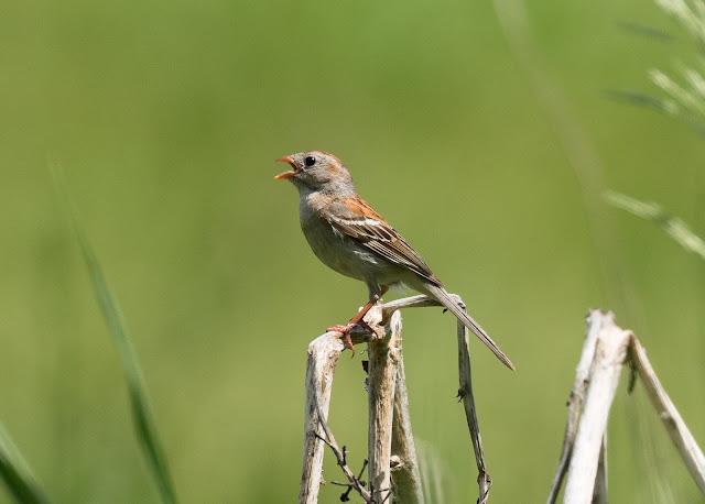 Field Sparrow - Sharonville SGA, Michigan, USA