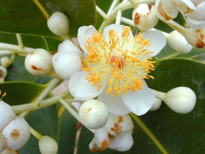 Hoa mai trắng, hoa mù u