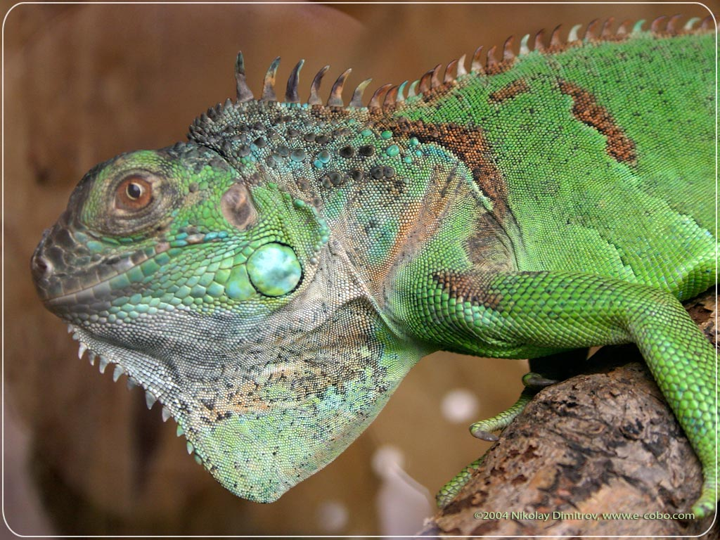 22 reptile hd wallpapers - photo #9