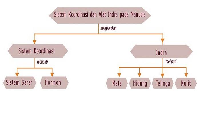 Sistem Koordinasi dan Alat Indra Pada Manusia - Kelas 9