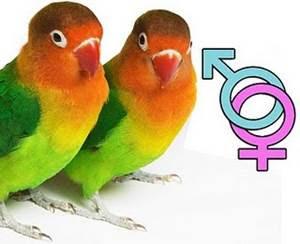 Cara Membedakan Lovebird Jantan Dan Betina Serta Tips Beternak Lovebird Lensa Lovebird