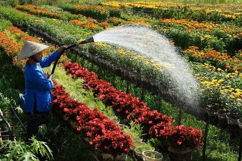 Người phụ nữ đang tưới nước cho hoa tại làng hoa Sa Đéc