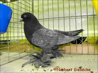 tumbler pigeons - muffed tumbler pigeons