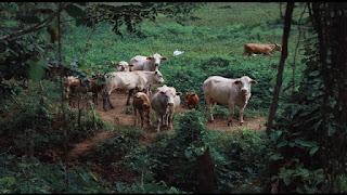 cattles-cows-in-rain