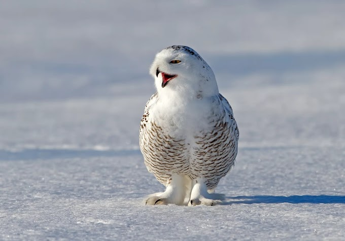 Hunting & Food: Snowy Owl  Bird
