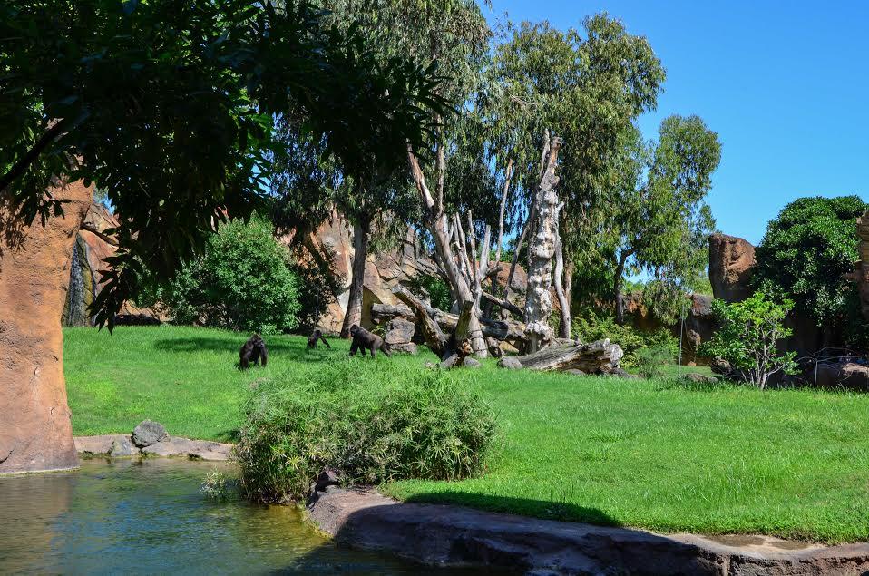 Familia de gorilas en el nuevo recinto de Bioparc