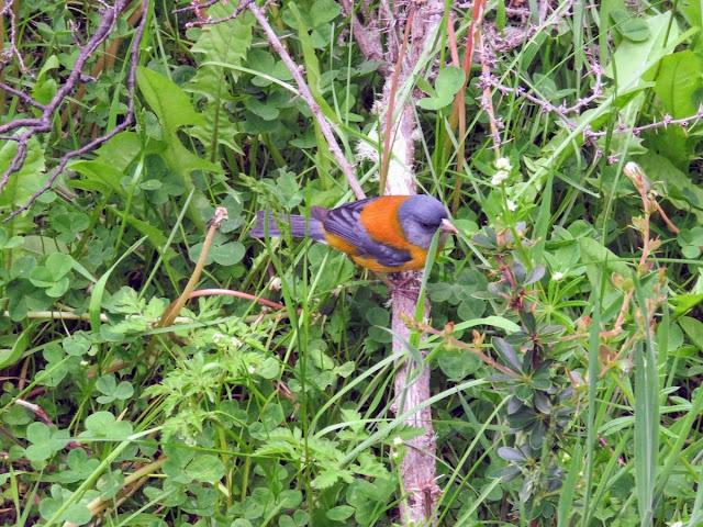 Patagonia Birds: Patagonian sierra finch