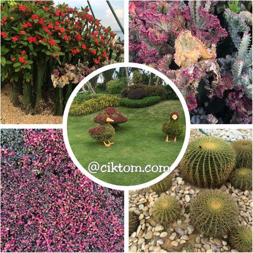 pokok kaktus cantik