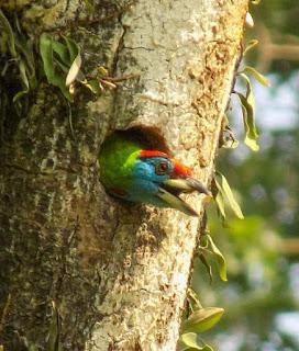 Psilopogon asiaticus