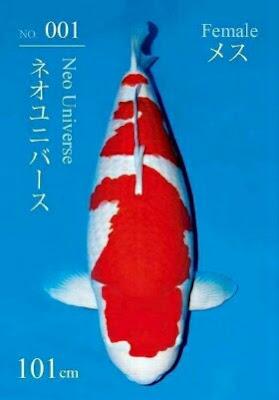 gambar ikan koi terbesar di dunia