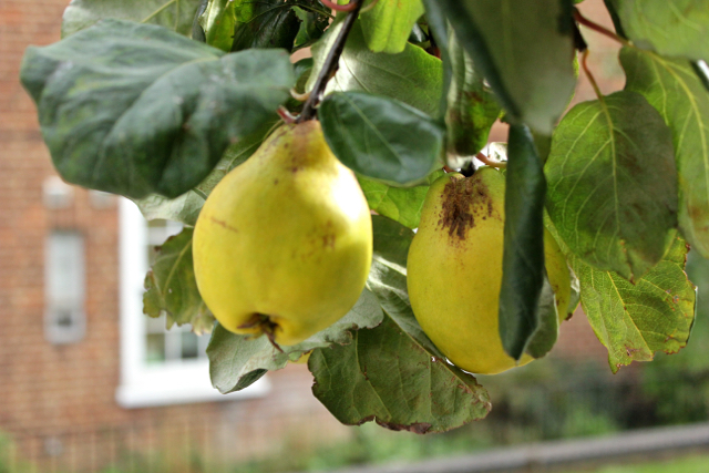 Ripe quinces hanging on the tree branch