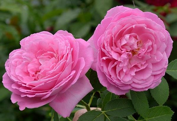Mrs. Jon Laing роза фото сорт
