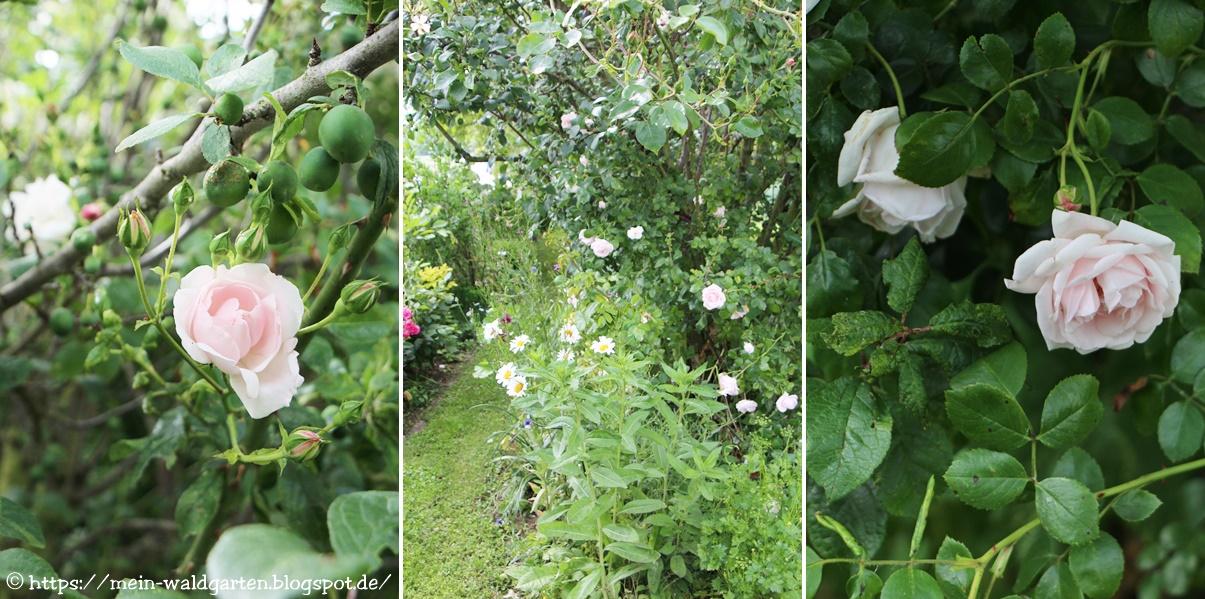 mein waldgarten rosen aus dem juni garten. Black Bedroom Furniture Sets. Home Design Ideas