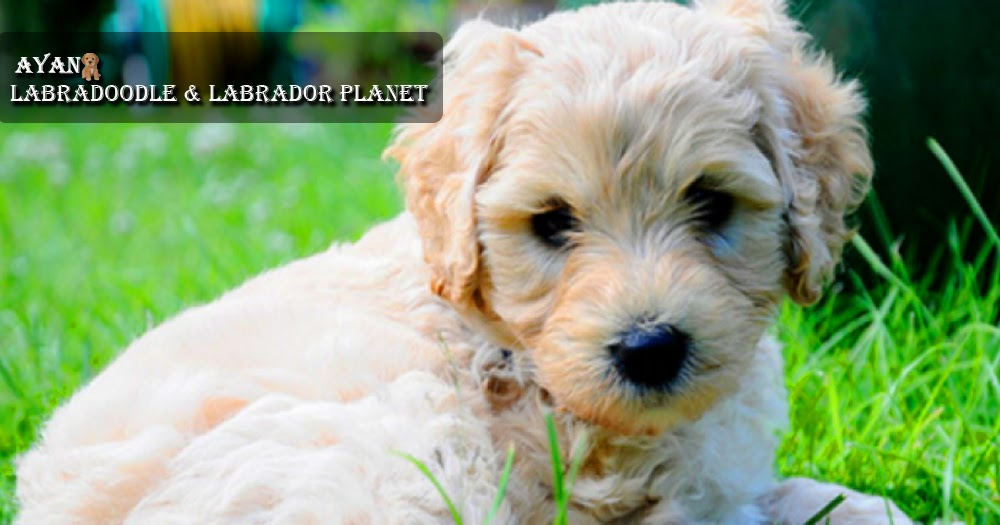 Labradoodle Puppies That are Available for Sale are as Intelligent as Their Parent Dogs